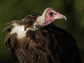 an adult Hooded Vulture