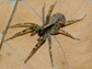 a female wolf spider