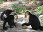younger capuchin monkeys learning how to open Panama fruit