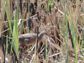 photo of a Yuma Clapper rail