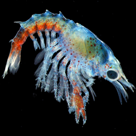 Image of a lobster larvae