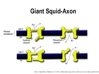 Giant Squid Axon