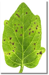 collmer_leaf_speck3_th.jpg